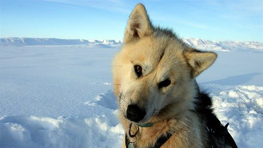 Husky in snow covered landscape on Greenland #KILROY