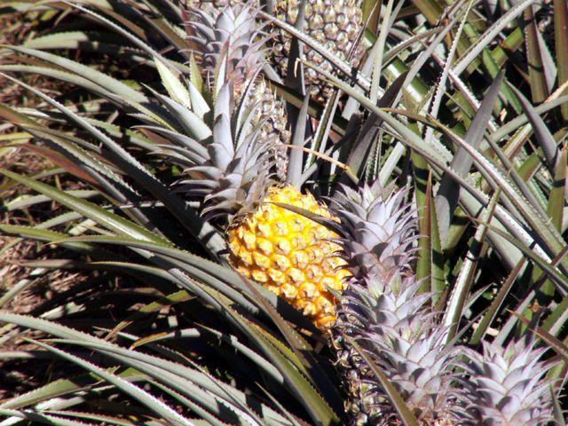 Ananas fruit de La Réunion.