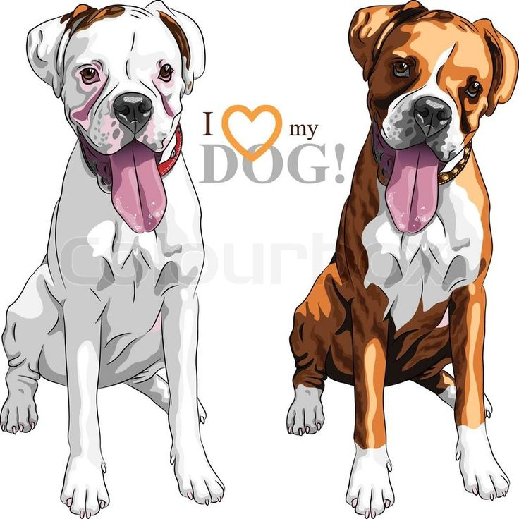 Stock vector ✓ 14 M images ✓ High quality images for web & print | Closeup portrait of the pair of domestic dogs Boxer breed white and brindle