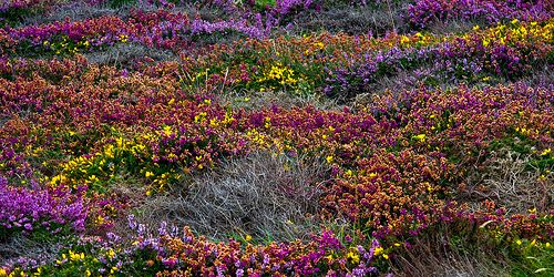 Heather at Lands End, Cornwall, England