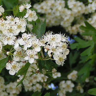 aubépine en fleurs au printemps