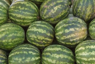 The best daytime  temps for growing watermelons is from 70 to 90. When grown where nighttime temperatures drop below 50 they lose flavor. The plants often drop flowers and do not set fruit when daytime temperatures are 90 F or higher for several days.  Air temperatures below 70 F can damage young watermelon plants, slow their growth and reduce their yields.