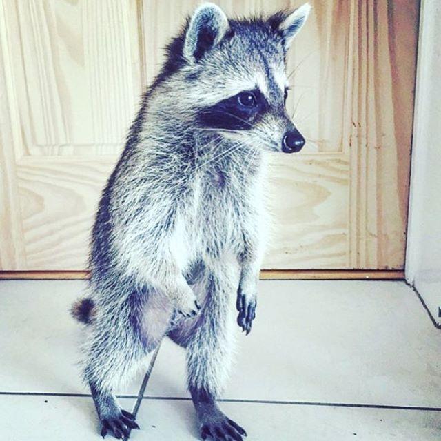 Throwback to the cutest toddler #pumpkintheraccoon #raccoon #instalike #instagram #instagood #instadaily #weeklyfluff #tbt #love #pet