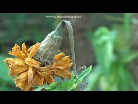 (887) How to Collect Seeds From Sunflower and Marigold | Seed Harvesting (Urdu/hindi) - YouTube
