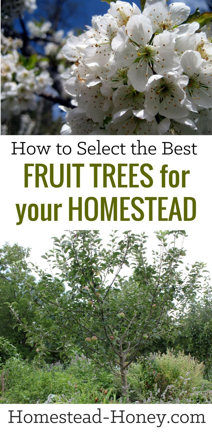 Selecting Fruit Trees For Your Homestead Homestead Honey Fruit Trees Backyard Fruit Trees Growing Fruit Trees