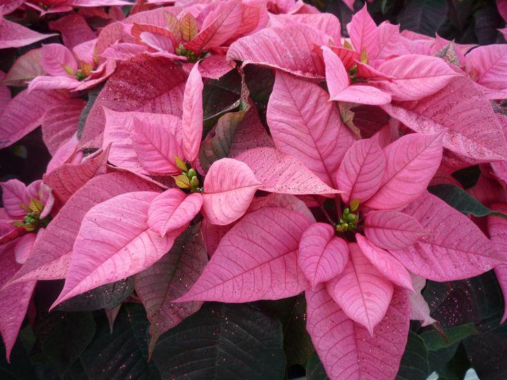 mikulásvirág http://kertlap.hu/mikulasvirag/