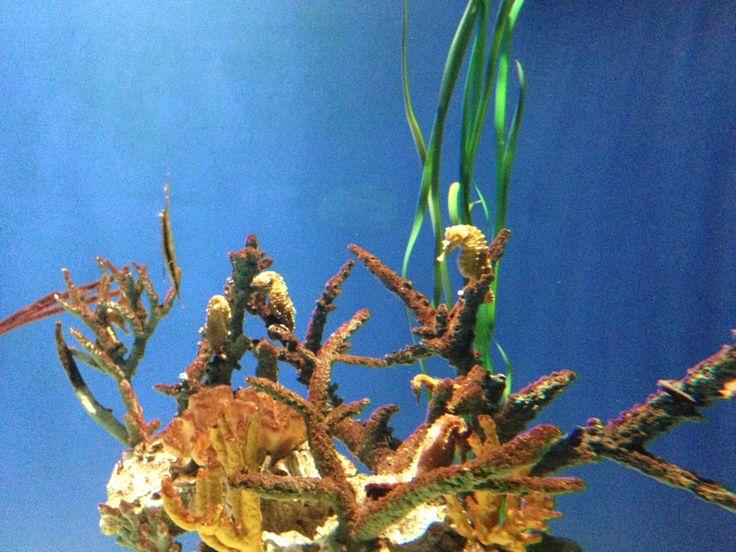 Seahorses at the Georgia Aquarium in Atlanta http://www.georgiaaquarium.org/