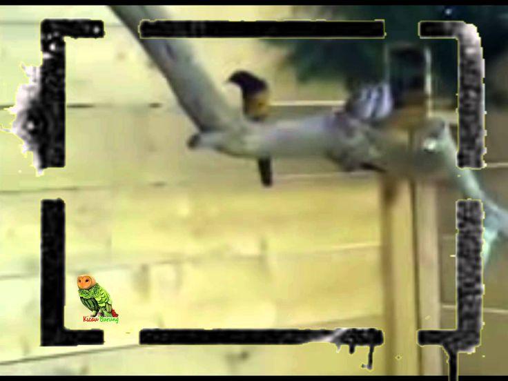 Suara Burung Muraibatu Juara Penangkaran Super greceh