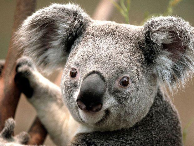 Les koalas sont arrivés à Pairi Daiza