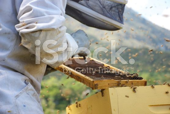 Beekeeper checks his brood for AFB (American Foulbrood Disease) royalty-free stock photo