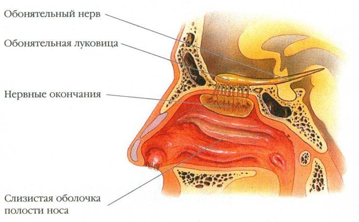 Обонятельный нерв, обонятельная луковица, нервные окончания, слизистая оболочка полости носа