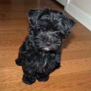 Maltipoo Puppy - My little Tyson