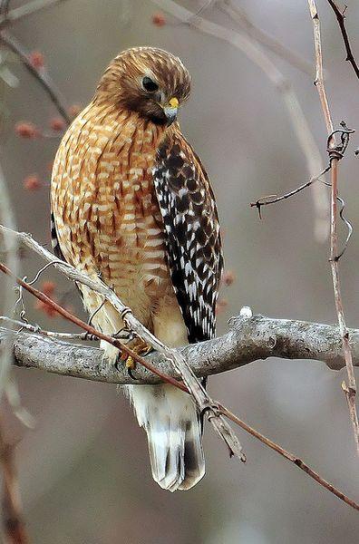 Beautiful red-shouldered hawk <> (woodland creatures, birds, fowl, woods)