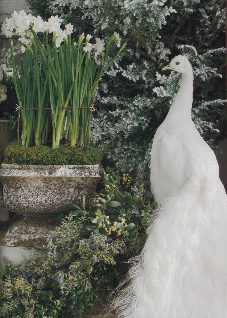White peacock in garden