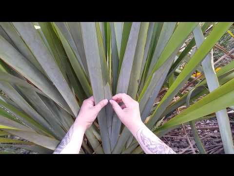 Maori Weaving with Veranoa Hetet : Cutting Flax - YouTube