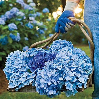 Growing Blue Hydrangeas:    Blue flowers are produced in acid soil (pH 5.5 and lower), and pink flowers are produced in alkaline soil (pH 7 and higher). You can add garden sulphur, acidic organic mulch or aluminum sulfate around your hydrangeas to acidify the soil to encourage the blue. For pink flowers, add lime to make the soil more alkaline. I'm growing these!!:
