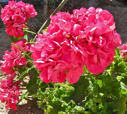 The red Geranium is a magic good luck plant, and for engaged couples, the leaf is supposed to offer prosperity, fidelity, love and fertility