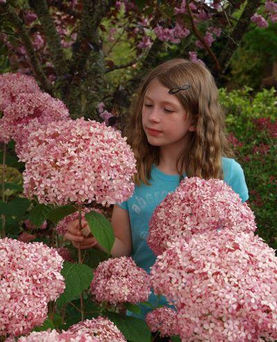 New pink hydrangea is Invincibelle®
