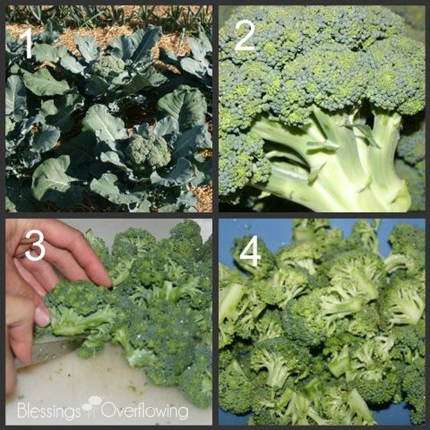 how to freeze broccoli - Can You Freeze Fresh Broccoli