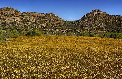 The wildflowers of Goegap   Flickr - Photo Sharing!