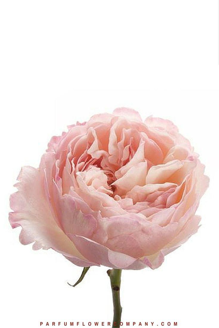 David Austin Wedding Rose Keira 003