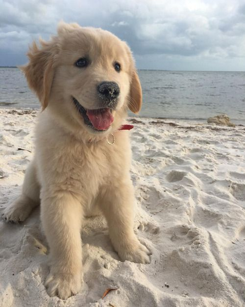 Luke ~ Golden Retriever Pup ~ Classic Look