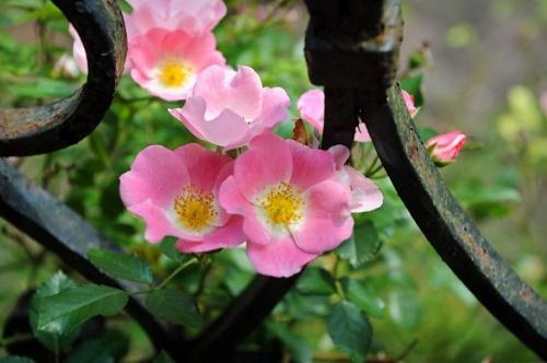 Cape Cod beach roses...