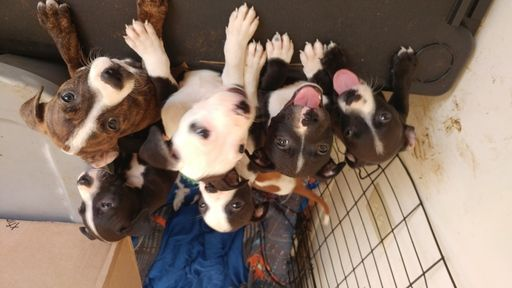 American Pit Bull Terrier puppy for sale in GOOSE CREEK, SC. ADN-57769 on PuppyFinder.com Gender: Male. Age: 10 Weeks Old