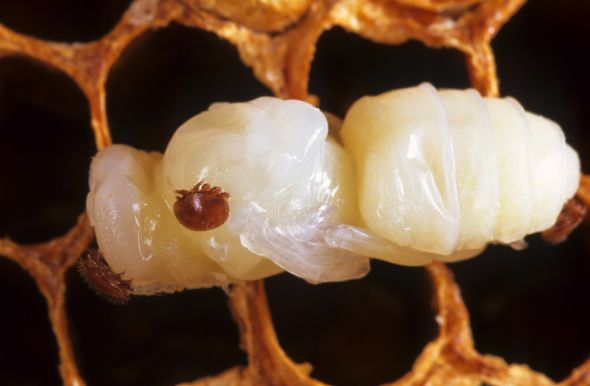 They might be tiny, but Varroa mites are threatening bee populations across the world – and Australia could be next. We're helping to combat the pests for good.