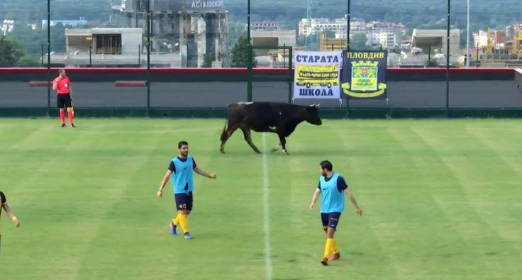 Vaca Interrompe Jogo De Futebol Particular Na Bulgária