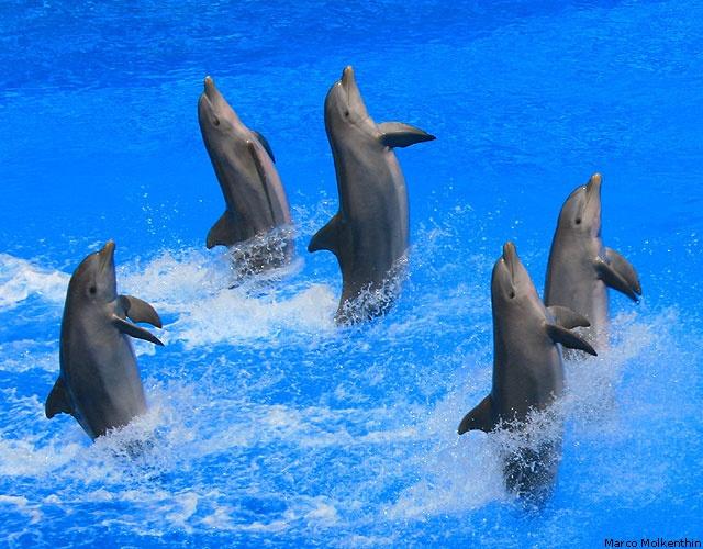 Delphine während der Delfinshow im Palmitos Park auf der Kanareninsel Gran Canaria im März 2012 (Foto: Marco Molkenthin, GC 2012)
