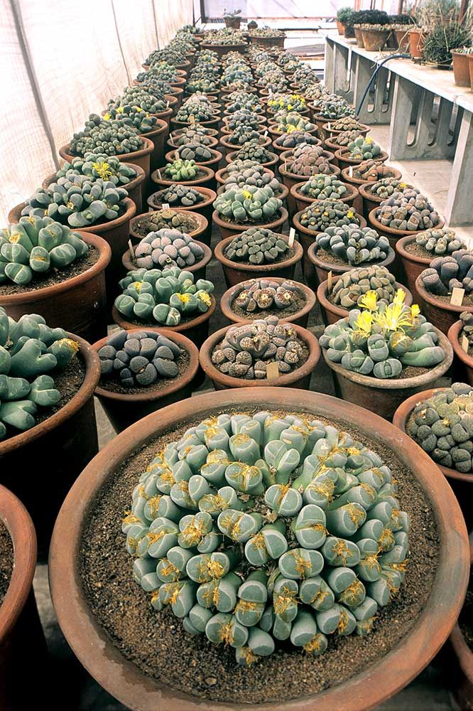 """How have I just discovered lithops?! Succulents that are better known as """"living stones"""""""