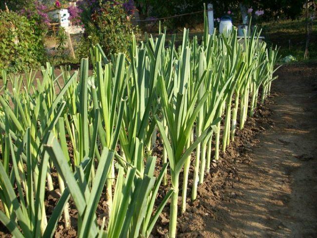 Лук является не просто одним из наиболее полезных овощей, но и еще одним из самых популярных для выращивания в наших землях