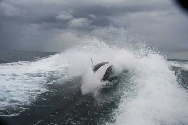 Killer whales put on rare and amazing show for boaters off Mexico