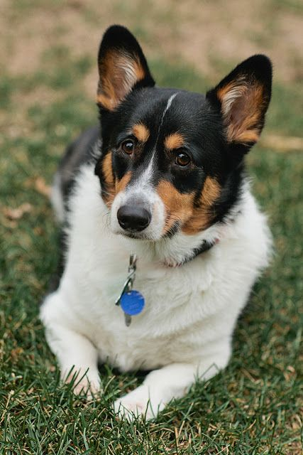 The Daily Corgi: Rescue Spotlight: Barry Dickerson!   This is an awesome rescue story.  Barry is such a lucky dog!!