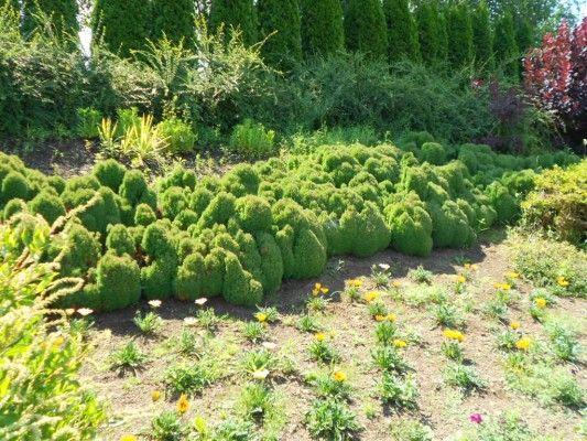 577 best cool conifers images on pinterest dwarf dwarfism and evergreen garden. Black Bedroom Furniture Sets. Home Design Ideas