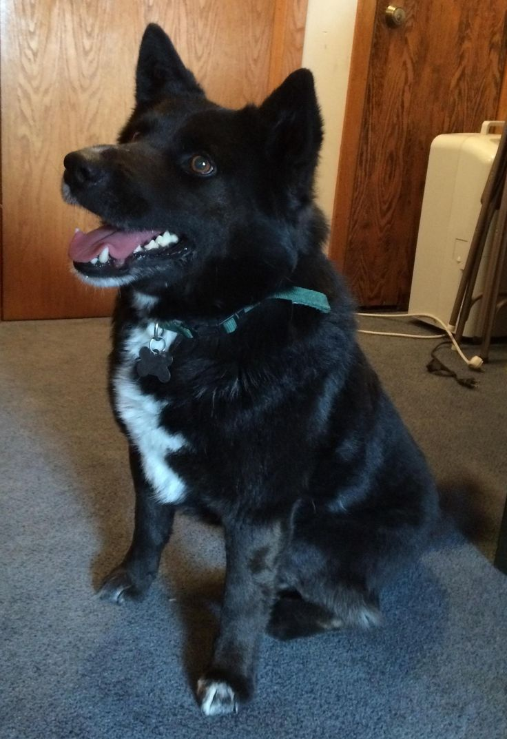 Adopt Gulliver on Dogs, Pets, Border collie rescue