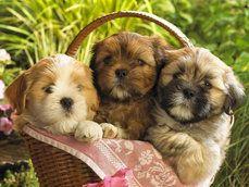 tři roztomilé psi v košíku