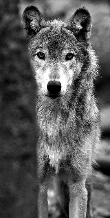 Wolf, ulv, cute, nuttet, beautiful, furry, fluffy, alert, proud, wild, photo b/w.