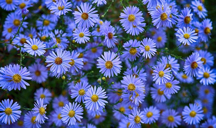 https://flic.kr/p/21daBD2 | An Optimistic Look | ... on the new week with a new round of the UN Climate Conference (COP23) starting today ...  Happy Blue Monday !  Asters (Aster novi-belgii) in our garden - Frankfurt-Nordend