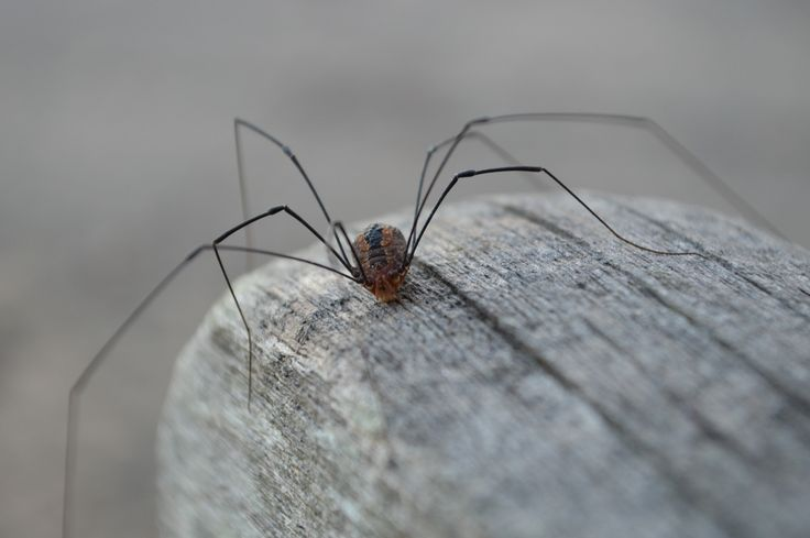 You've heard the old wives tale...Daddy Long Legs are poisonous, but their mouths are too small to bite you. So, True or False?  Do you know?