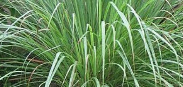فوائد عشبة الأذخر Herbs Herbivore Dill