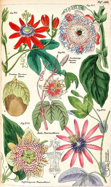 W. L. Petermann, The Plant Kingdom (1857). Passion Flower Vine