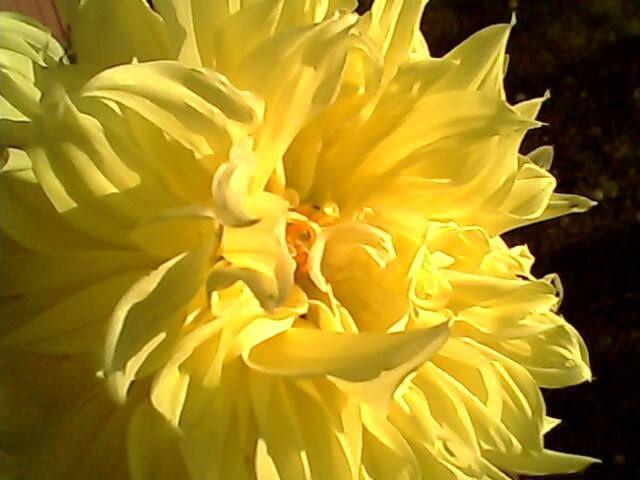 Dalia amarilla, pueden llegar a medir mas de un metro... reproducción por tubérculos, de fácil cultivo en tierra húmeda y abonada.