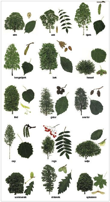 løvtrær – Store norske leksikon