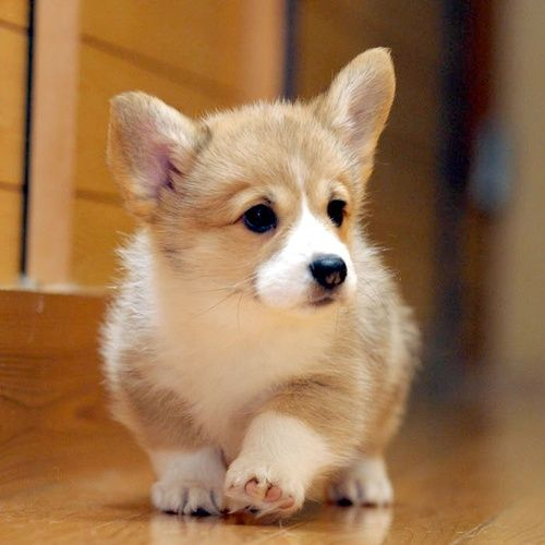 Alex and me are getting a Corgi just like this soon! So freaking cute!!!