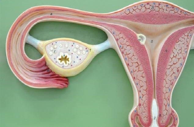 An ovarian cyst is a fluid-filled sac that forms around or within an ovary. While they're usually harmless, ovarian cysts can be quite painful and unpleasant. Medical approaches for ovarian cysts are generally invasive, but they aren't your only option. Research has found several types of natural approaches that can help support ovary health, especially when facing this painful condition. By Guest Writer Dr. Edward F. Group