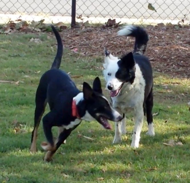 Oliver (runs to get his ball) with Tess, at dog park - 14 October 2016