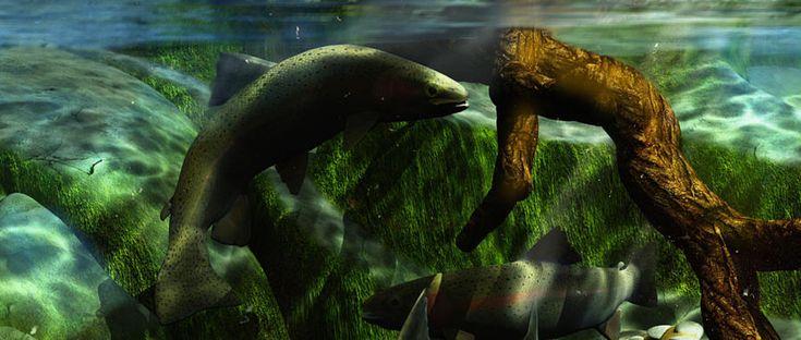 Rainbow Trout River Scene D