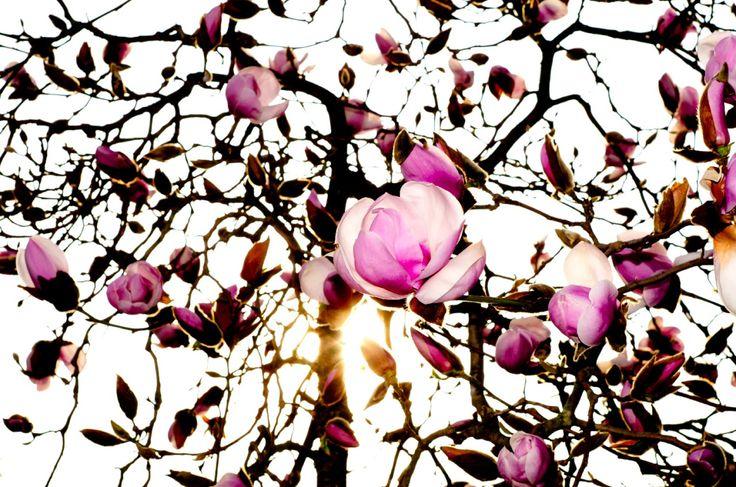 magnolias. vancouver 2015.